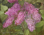 Кудряшова Галина - Lilacs in the garden.