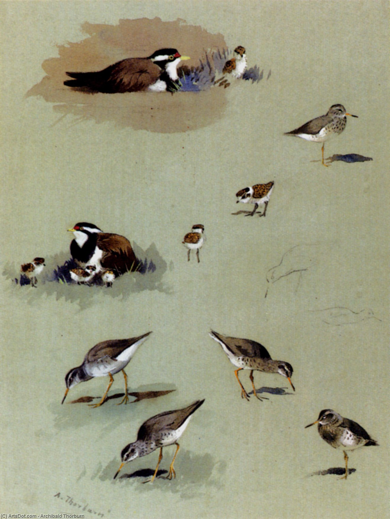 Study Of Sandpipers, Cream-Coloured Coursers And Other Birds, Watercolour by Archibald Thorburn (1860-1935, United Kingdom)
