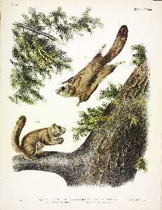 John James Audubon - 1. Pteromys sabrinus, Severn River Flying Squirrel; 2. Pteromys alpinus, Rocky Mountain Squirrel