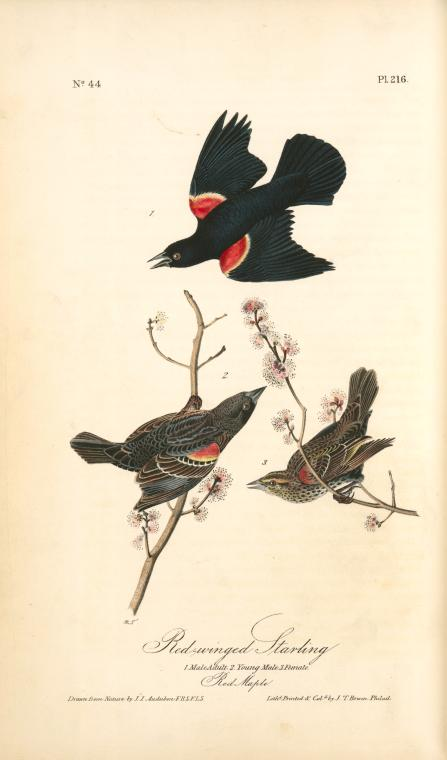 Buy Museum Art Reproductions : Red-winged Starling. 1. Male Adult. 2. Young Male. 3. Female. (Red Maple) by John James Audubon (1785-1851, Haiti) | ArtsDot.com