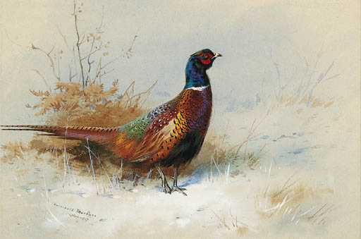 A Cock Pheasant 1, Watercolour by Archibald Thorburn (1860-1935, United Kingdom)