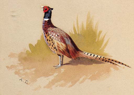 A Cock Pheasant, A Study, Watercolour by Archibald Thorburn (1860-1935, United Kingdom)