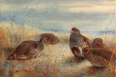 A Covey Of Partridge In The Stubble, Watercolour by Archibald Thorburn (1860-1935, United Kingdom)