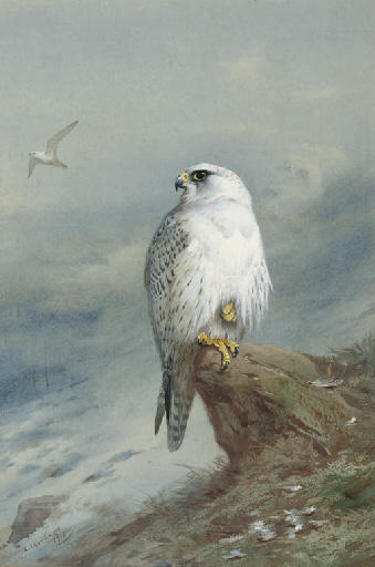 A Greenland Falcon, Watercolour by Archibald Thorburn (1860-1935, United Kingdom)