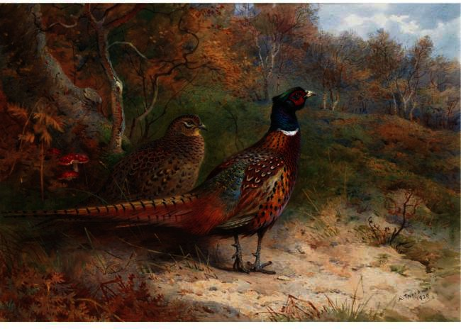 A Hen And A Cock Pheasant, Watercolour by Archibald Thorburn (1860-1935, United Kingdom)