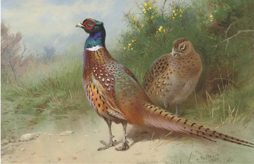 A Hen And Cock Pheasant By Gorse, Watercolour by Archibald Thorburn (1860-1935, United Kingdom)