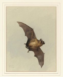 Archibald Thorburn - A Horse-Shoe Bat