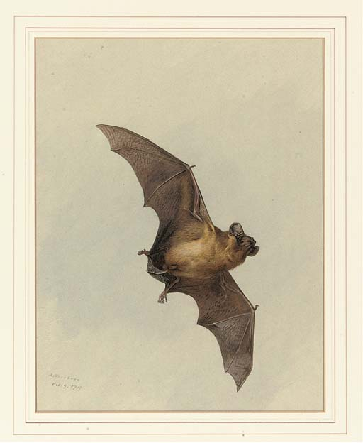 A Horse-Shoe Bat, Watercolour by Archibald Thorburn (1860-1935, United Kingdom)