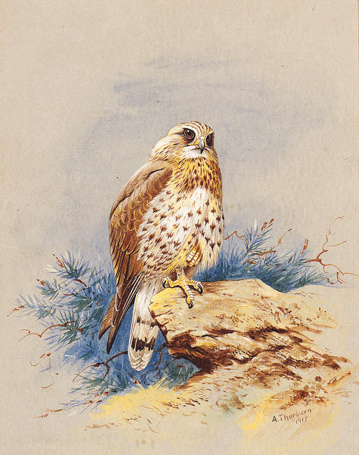 A Kestrel Perched On A Rock, Watercolour by Archibald Thorburn (1860-1935, United Kingdom)