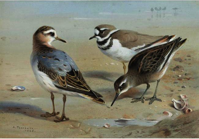 A Knot, A Sandpiper And A Little Ringed Plover, Watercolour by Archibald Thorburn (1860-1935, United Kingdom)