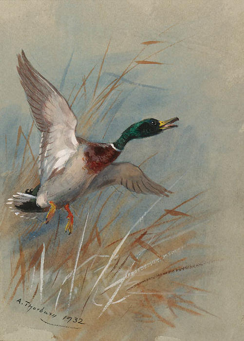 A Mallard Rising From Reeds, Watercolour by Archibald Thorburn (1860-1935, United Kingdom)