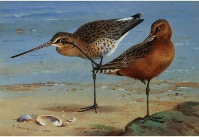A Pair Of Bar-Tailed Godwit, Watercolour by Archibald Thorburn (1860-1935, United Kingdom)