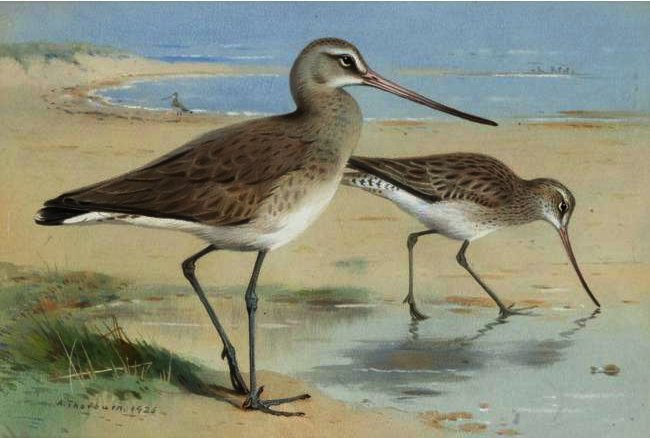 A Pair Of Black-Tailed Godwit, Watercolour by Archibald Thorburn (1860-1935, United Kingdom)