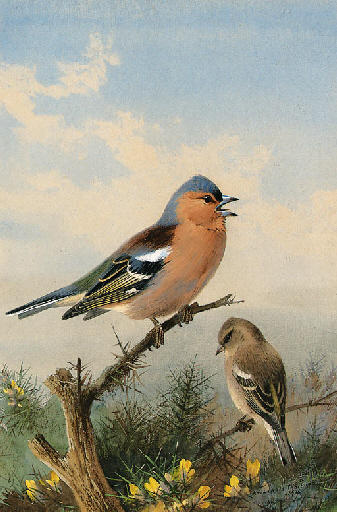 A Pair Of Chaffinches Perched On Gorse, Watercolour by Archibald Thorburn (1860-1935, United Kingdom)
