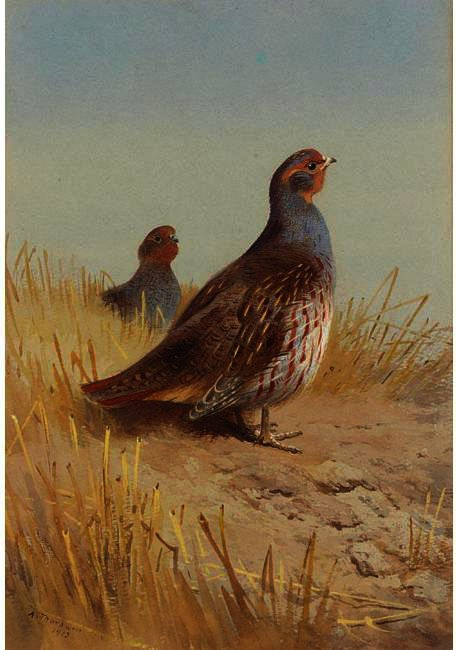 A Pair Of English Partridges, Watercolour by Archibald Thorburn (1860-1935, United Kingdom)