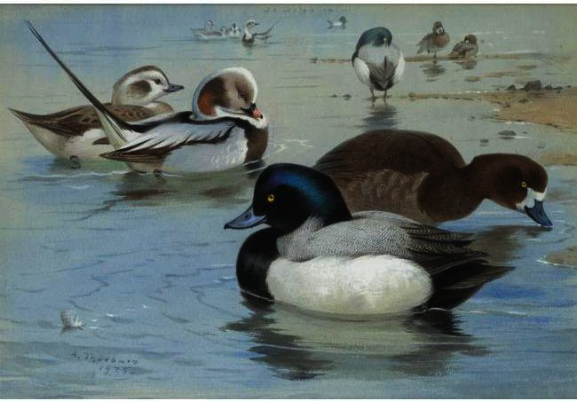 A Pair Of Long-Tailed Ducks And A Pair Of Scaup, Watercolour by Archibald Thorburn (1860-1935, United Kingdom)
