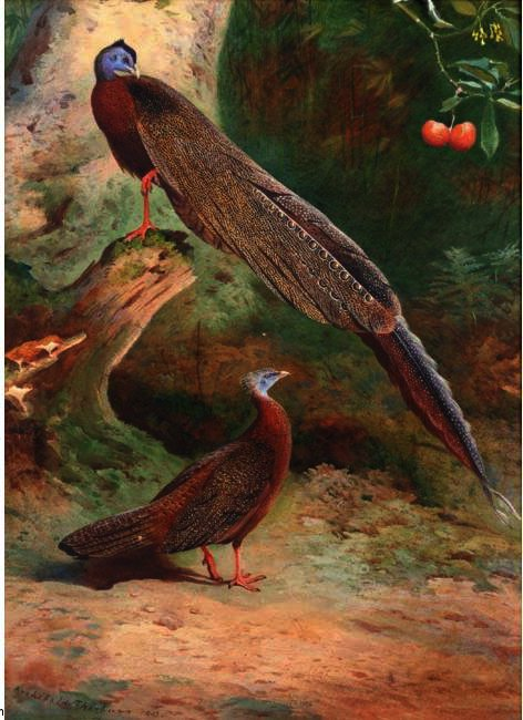 A Pair Of Malay Arguses, Watercolour by Archibald Thorburn (1860-1935, United Kingdom)