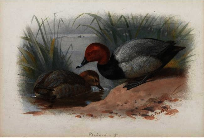 A Pair Of Pochard, Watercolour by Archibald Thorburn (1860-1935, United Kingdom)