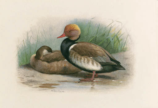 A Pair Of Red-Crested Pochards, Watercolour by Archibald Thorburn (1860-1935, United Kingdom)