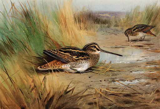 A Pair Of Snipe, Watercolour by Archibald Thorburn (1860-1935, United Kingdom)