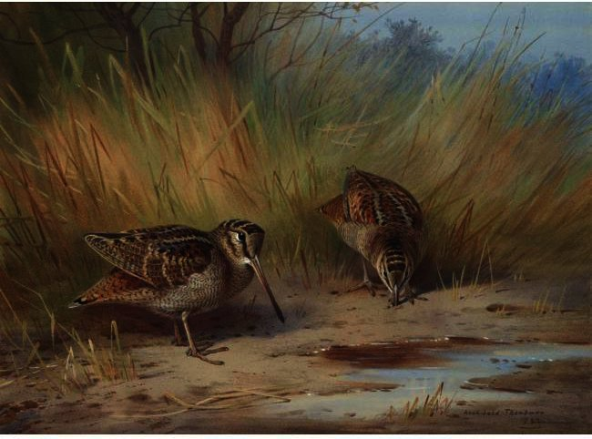 A Pair Of Woodcock, Watercolour by Archibald Thorburn (1860-1935, United Kingdom)