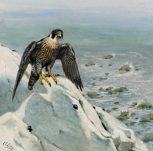 A Peregrine Falcon On A Cliff, Watercolour by Archibald Thorburn (1860-1935, United Kingdom)