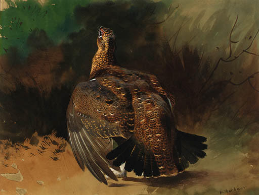 A Red Grouse Displaying, Watercolour by Archibald Thorburn (1860-1935, United Kingdom)