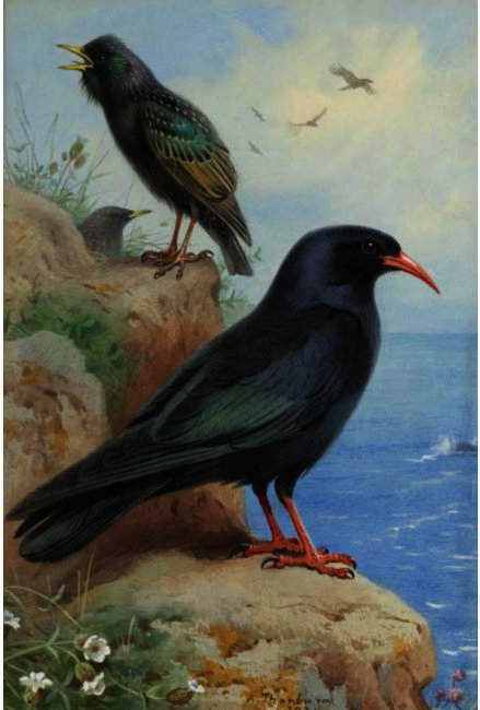 A Rock Starling And A Common Chough, Watercolour by Archibald Thorburn (1860-1935, United Kingdom)