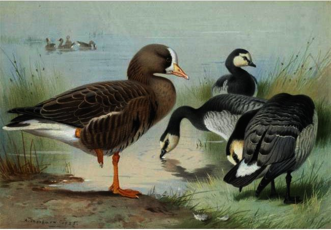 A White-Fronted Goose And Barnacle Geese, Watercolour by Archibald Thorburn (1860-1935, United Kingdom)