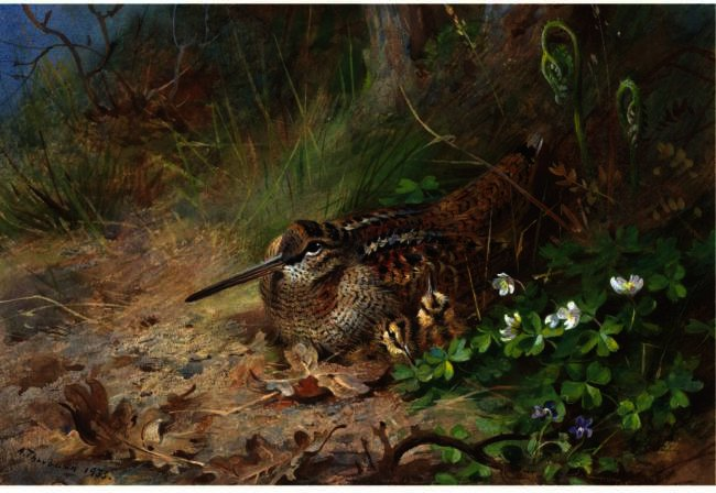 A Woodcock And Its Young, Watercolour by Archibald Thorburn (1860-1935, United Kingdom)