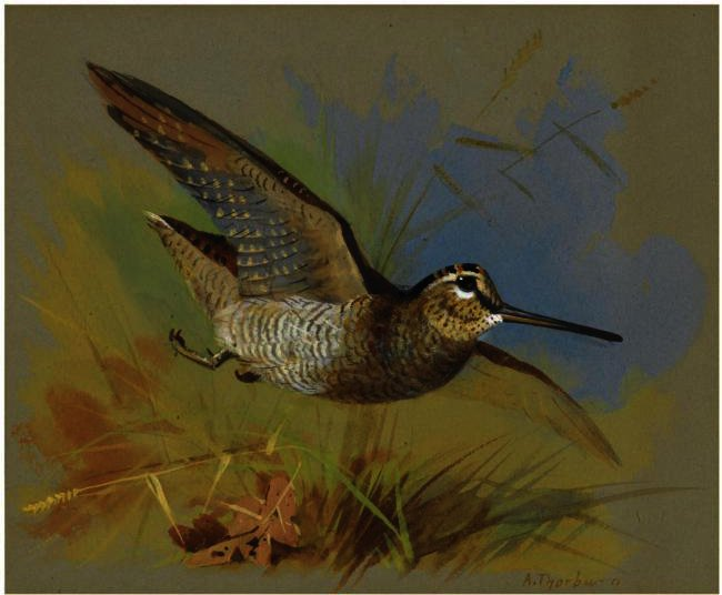A Woodcock In Flight, Watercolour by Archibald Thorburn (1860-1935, United Kingdom)