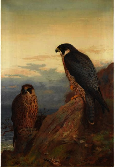 An Adult And Immature Peregrine, Watercolour by Archibald Thorburn (1860-1935, United Kingdom) | ArtsDot.com
