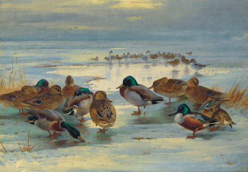 As Evening Deepens; Mallard, Shoveler And Pintail, Watercolour by Archibald Thorburn (1860-1935, United Kingdom)