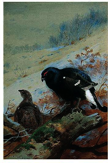 Black Game In Winter, Watercolour by Archibald Thorburn (1860-1935, United Kingdom)