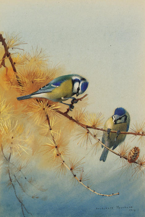 Blue Tits On The Branch Of A Fir Tree, Watercolour by Archibald Thorburn (1860-1935, United Kingdom)