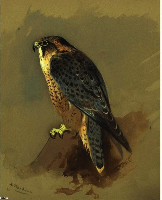 British Peregrine Falcone, Watercolour by Archibald Thorburn (1860-1935, United Kingdom)