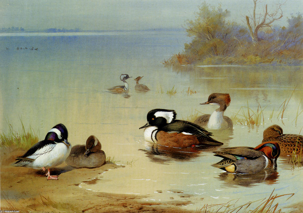 Buffel-Headed Duck,, American Green-Winged Teal And Hooded Merganser, Watercolour by Archibald Thorburn  (order Fine Art painting copy Archibald Thorburn)