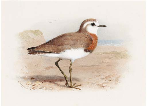 Caspian Plover, Watercolour by Archibald Thorburn (1860-1935, United Kingdom)