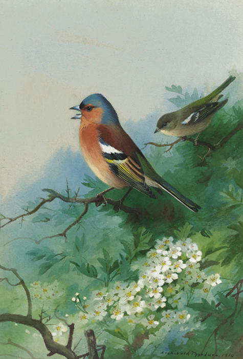 Chaffinches Among Hawthorn, Watercolour by Archibald Thorburn (1860-1935, United Kingdom)