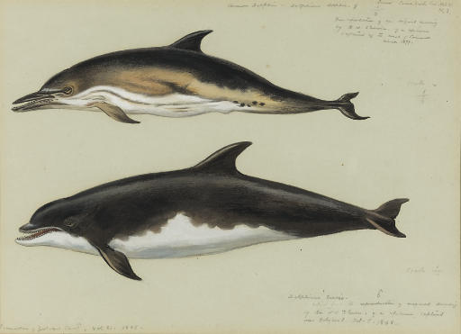 Common Dolphin And Bottlenose Dolphin, Watercolour by Archibald Thorburn (1860-1935, United Kingdom)