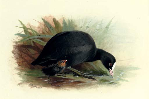 Coot, Fulica Atra, Watercolour by Archibald Thorburn (1860-1935, United Kingdom)