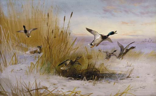 Delusive Hopes. Mallards In A Winter Marsh Startled By A Fox, Watercolour by Archibald Thorburn (1860-1935, United Kingdom)