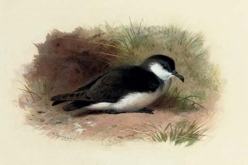 Dusky Shearwater, Puffinus Obscurus, Watercolour by Archibald Thorburn (1860-1935, United Kingdom)