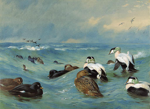 Eider And Scoter In Choppy Water, Watercolour by Archibald Thorburn (1860-1935, United Kingdom)