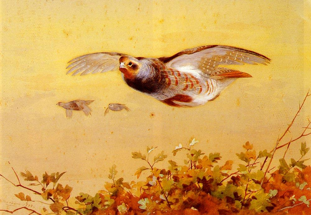 English Partridge In Flight, Watercolour by Archibald Thorburn (1860-1935, United Kingdom)