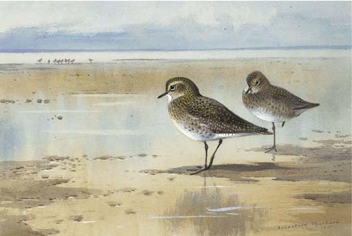Golden Plover, Watercolour by Archibald Thorburn (1860-1935, United Kingdom)