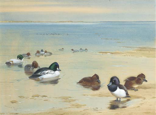 Goldeneye And Tufted Duck, Watercolour by Archibald Thorburn (1860-1935, United Kingdom)
