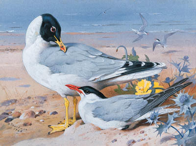 Great Black-Headed Gull And Caspian Tern, Watercolour by Archibald Thorburn (1860-1935, United Kingdom)