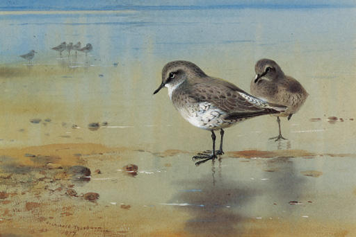 Grey Plover At The Water's Edge, Watercolour by Archibald Thorburn (1860-1935, United Kingdom)