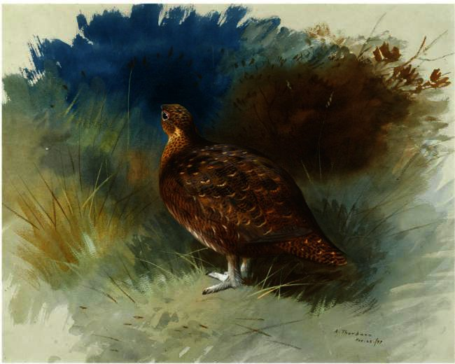 Grouse 1, Watercolour by Archibald Thorburn (1860-1935, United Kingdom)